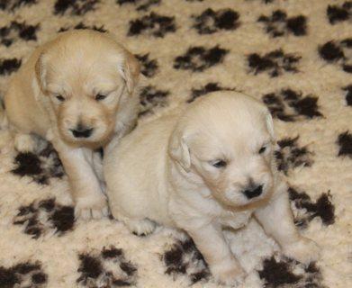 Golden retriver Puppies