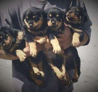 Stunning Kc Registered Rottweiler Pup.