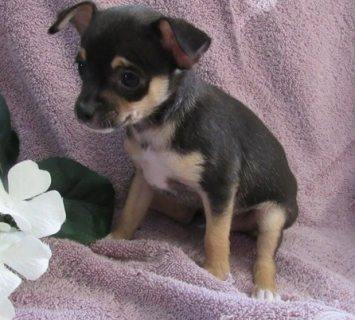 Stunning Long Coat Chihuahua Puppies
