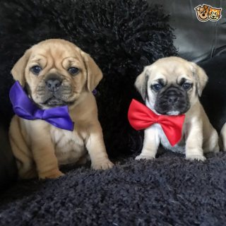 Kc Registered Stunning Pug Puppies For Sale.