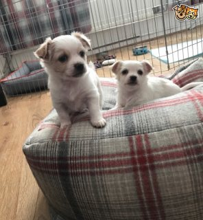 Quality Kc Chihuahua Puppies