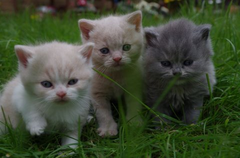 Registered British Shorthair Kitten for sale.