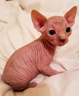 Magnificent Sphynx kittens.
