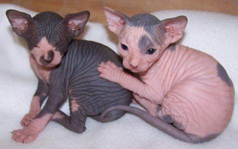 Healthy male and female Sphynx kittens Seeking new homes
