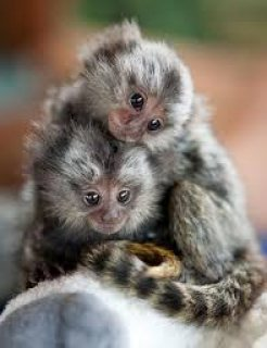 القرد المرموس على استعداد للذهاب، تطعيم