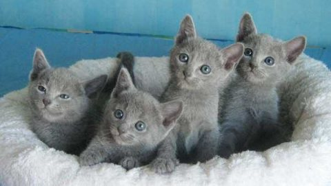 Russian Blue Cats For homing