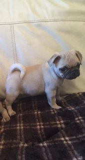 male and female Pug puppies .