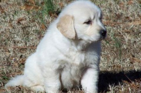 Adorable little Golden Retriever puppies
