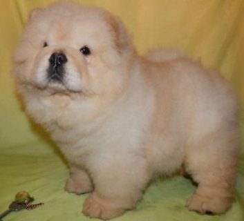 trained chow chow puppies