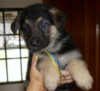 الراعي الألماني، الكلب، الجرو، لأجل مبيع