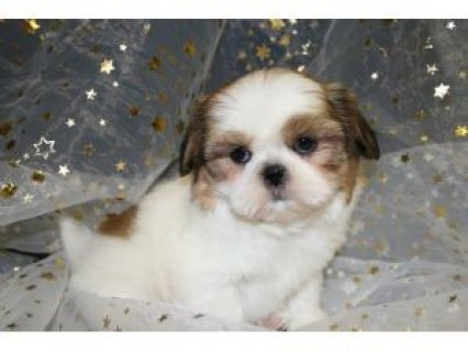 Shih Tzu Puppies for Re-homing