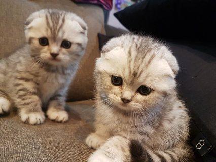 Silver Scottish Fold Kittens
