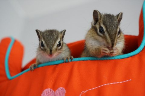 Chipmunks For Sale