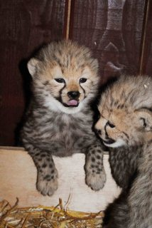 صور Cheetah cubs 1