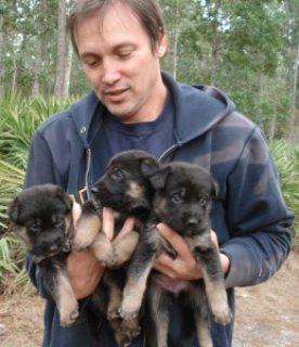 Affectionate German Shepherd Puppies for sale