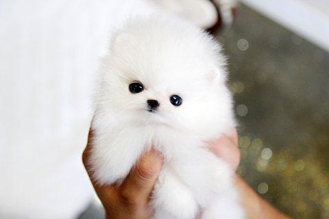 fantastic Pomeranian puppies