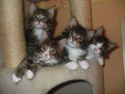 Registered Pedigree Maine Coon Kittens