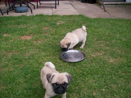 My Beautiful Pug Puppies