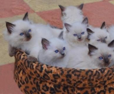 Ragdoll Kittens Ready For Sale