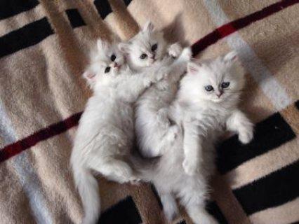 Stunning Golden Chinchilla Persian Kittens