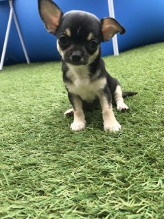 Cute Chihuahua  Puppies Available Now
