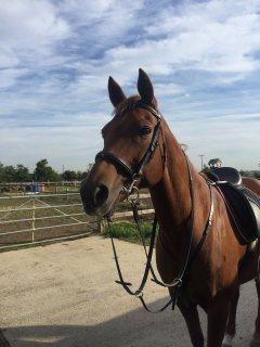 Male and Female Arabian Horse For Saleee