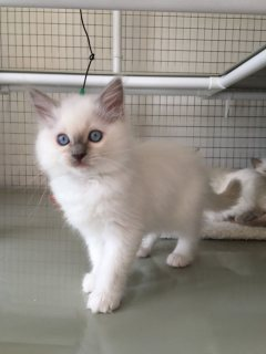 Purebred Ragdoll Kittens For Sale