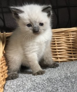 Best Ragdoll Kittens For Sale
