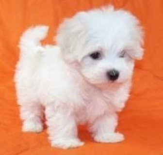 Kc Maltese  Male and female  For Sale