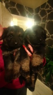 German Shepherd Pups ready to go for good home