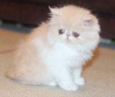 Beautiful Persian Kitten For Adoption