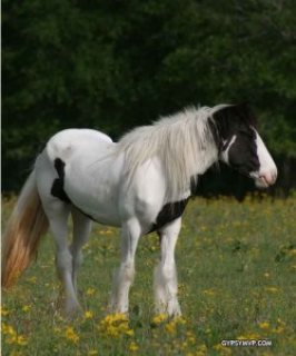 Gypsy Vanner Horse For Sale/Adoption