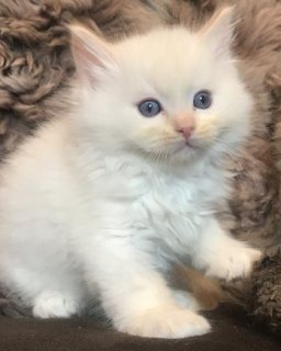 Gccf Reg.Ragdoll Kittens Now Available