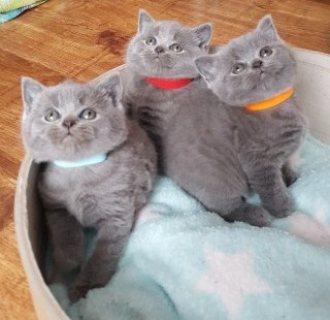 Beautiful British Shorthair Kittens For Sale
