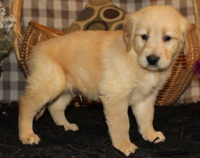 Charming Golden Retriever Puppies For Adoption