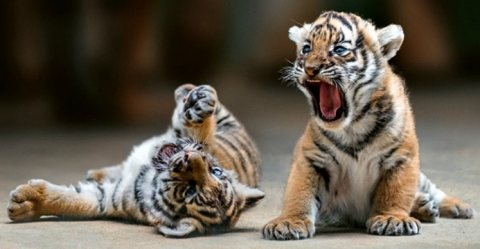 Train Tiger cubs available for sale.