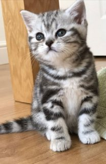 Healthy British Shorthair kittens Seeking new homes