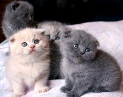 Standard Scottish Fold Munchkin Cats