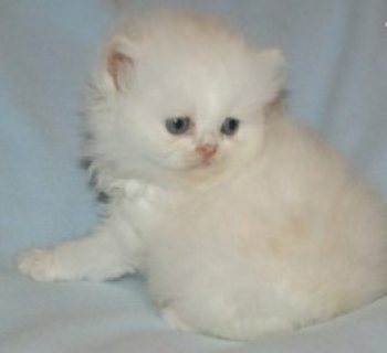 Persian Brother and Sister Available