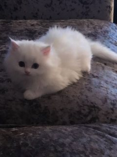 Beautiful Pedigree Persian Kitten available for sale. home raise,