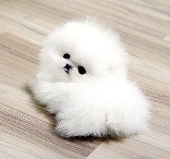 لطيف فنجان من الذكور والإناث جرو كلب صغير طويل الشعر للبيع.