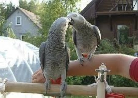 Nice male and Female African Grey Parrot