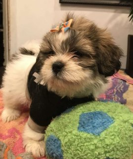 Super clean Shih Tzu puppies for sale