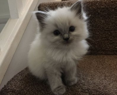Quality Ragdoll kittens available for sale