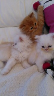 Clean home raise Persian kittens for sale