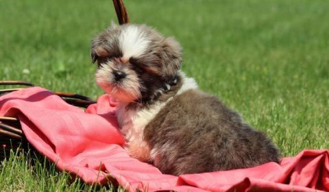 Clean potty train Shih Tzu puppies for sale