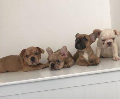 Stunning French Bulldogs puppies