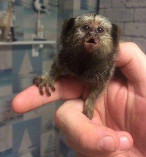 Marmoset monkeys babies ready for sale