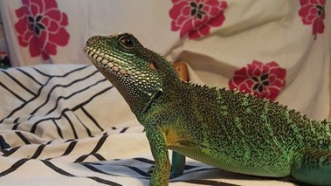 Home Trained Dragon for sale.