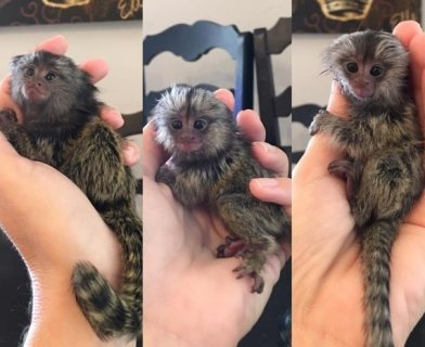 white and black face marmoset monkeys for sale.